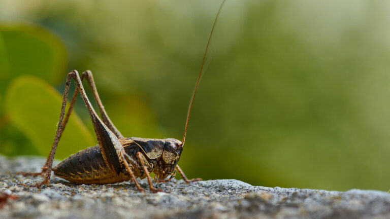 grillo insecto