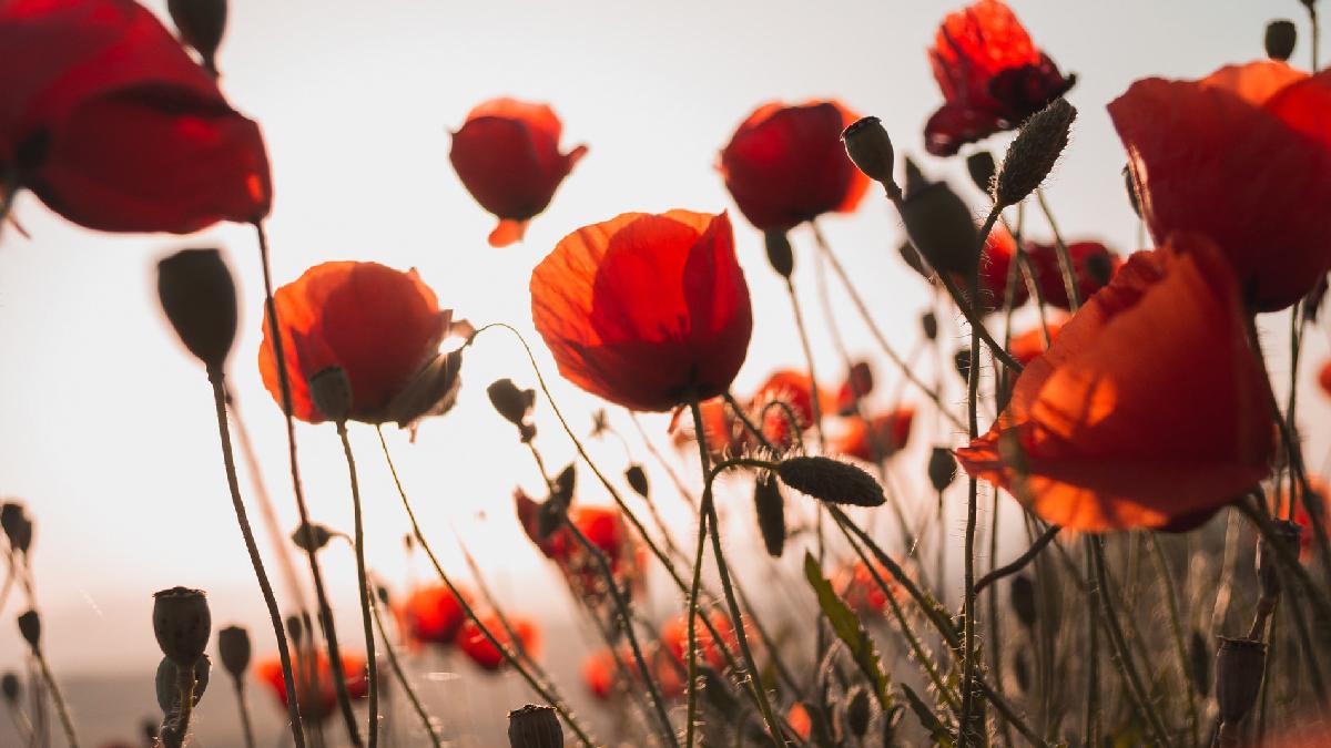 rojo amapolas flores